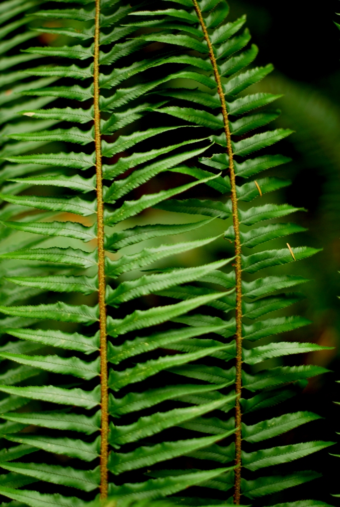 My best guess is that this is a Western Sword Fern